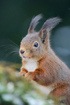 photo Red Squirrel